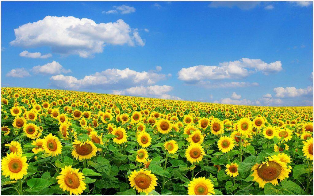 Sunflower Wallpaper Mobile Desktop