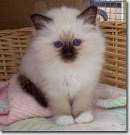 Kittens Cute Cats And Kittens Birman Kittens Kittens