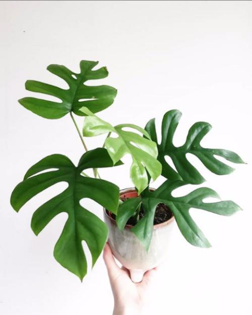 Rhaphidophora Tetrasperma Care Guide - That Planty Life