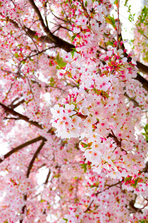 Pin By John Hoover On Nature Photography Blossom Trees Cherry Blooms Flowering Trees