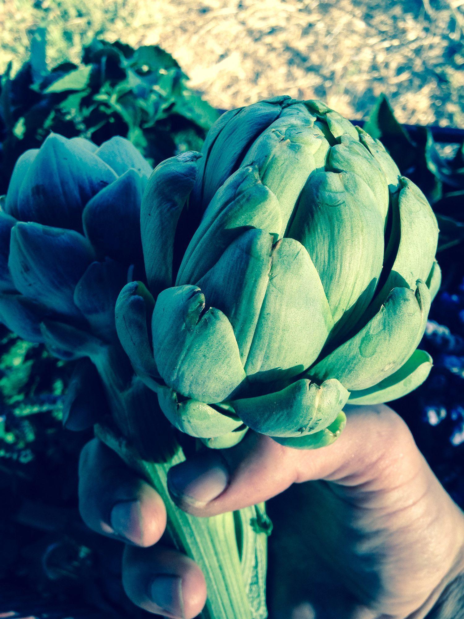 Organic Green Globe Artichoke