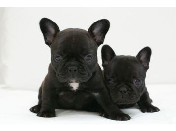 French Bulldog Puppies South West London Picture 1 French