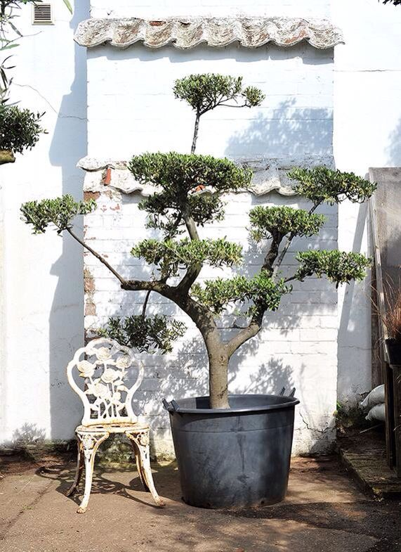 Cloud Pruned Olive Trees Our Speciality Pruning Olive Trees Cloud Pruning Olive Trees For Sale