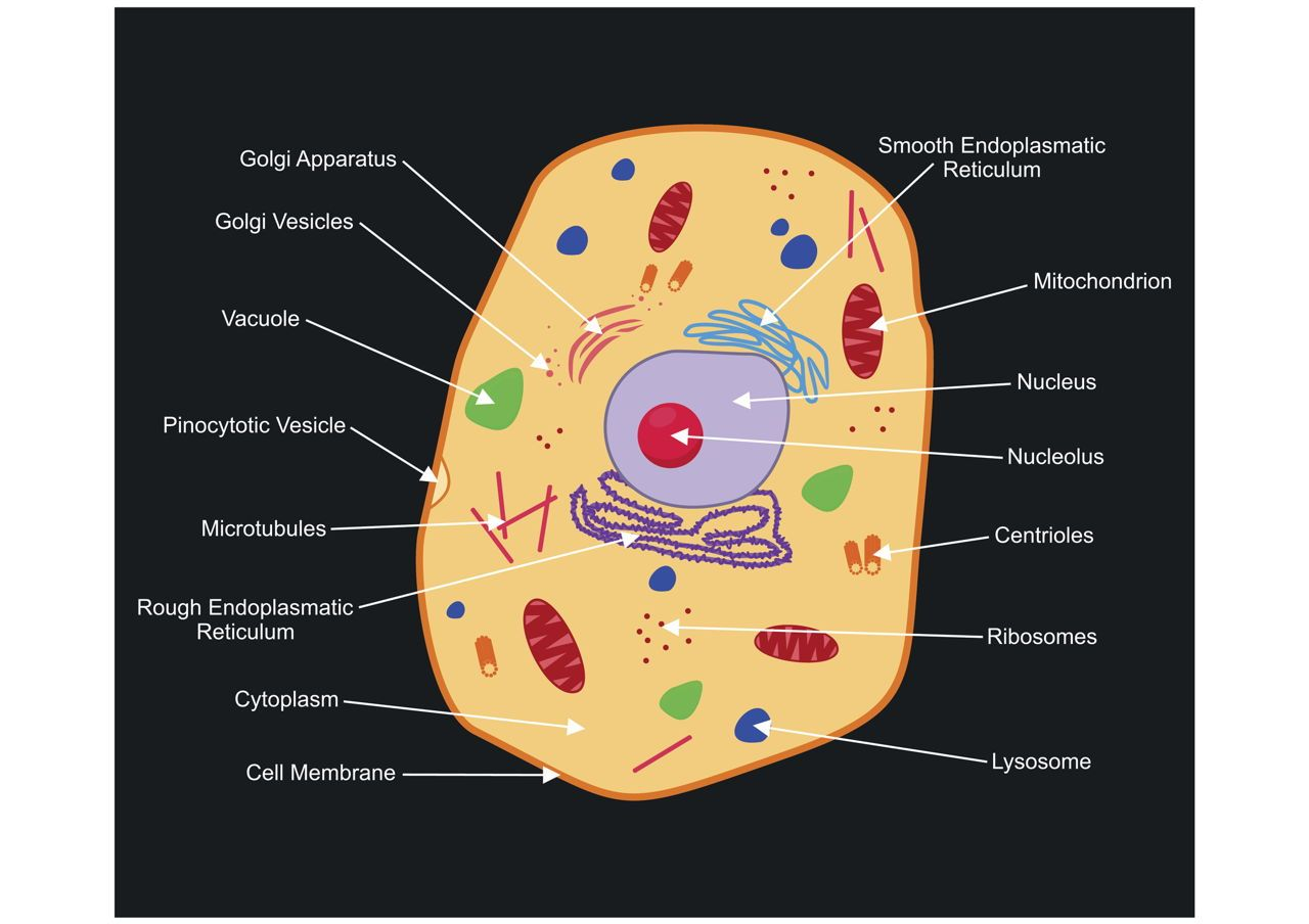 A Labeled Diagram Of The Animal Cell And Its Organelles