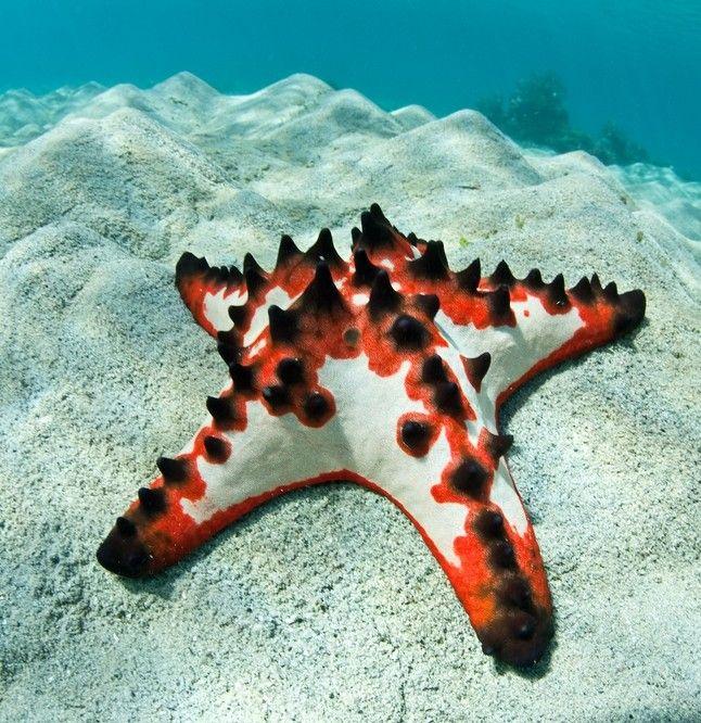 Chocolate Chip Starfish Starfish Species Sea Life Chocolate Chip Starfish