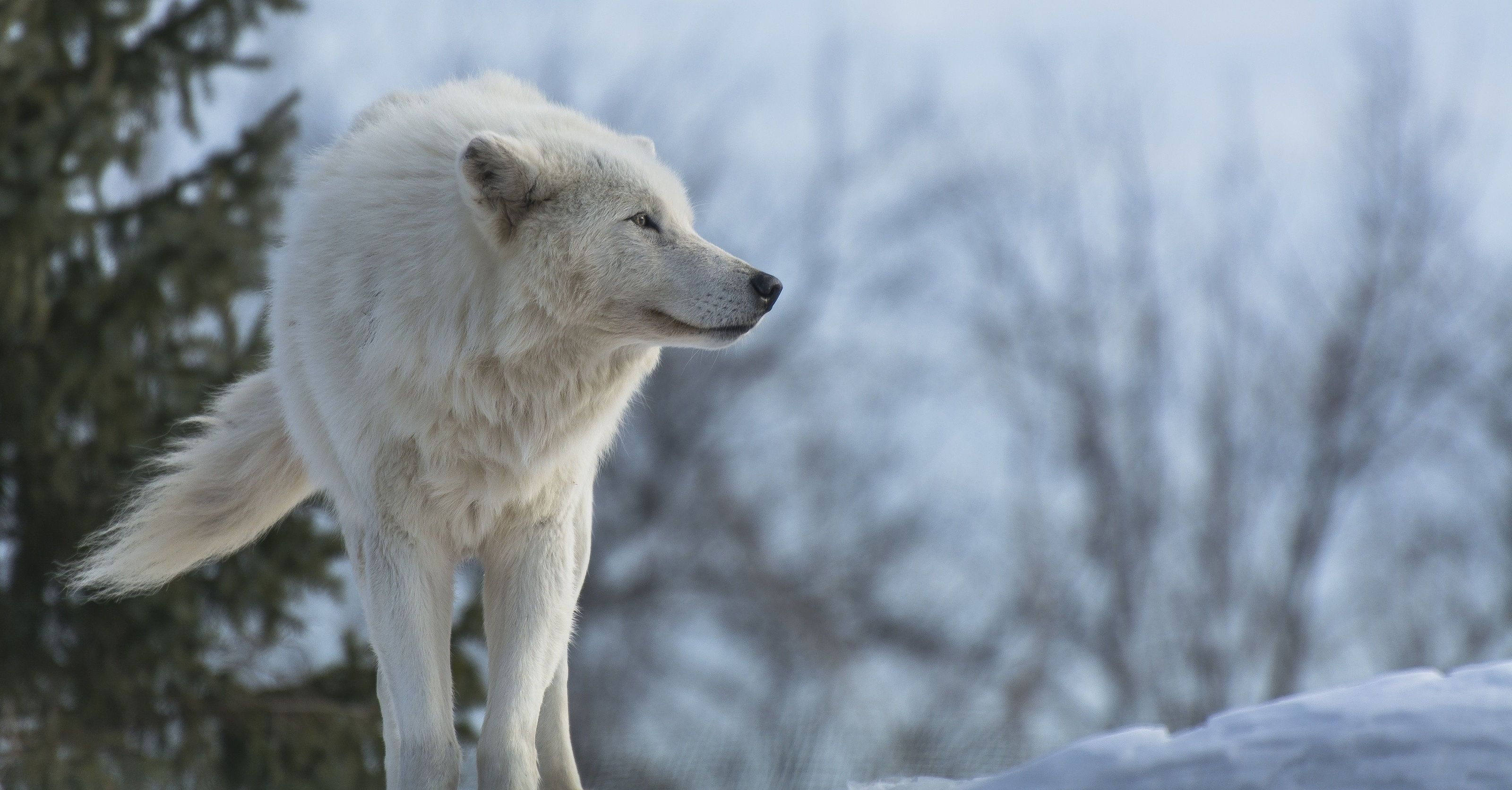 New White Wolf Wallpaper Snow Wolf Wolf Wallpaper Arctic Wolf