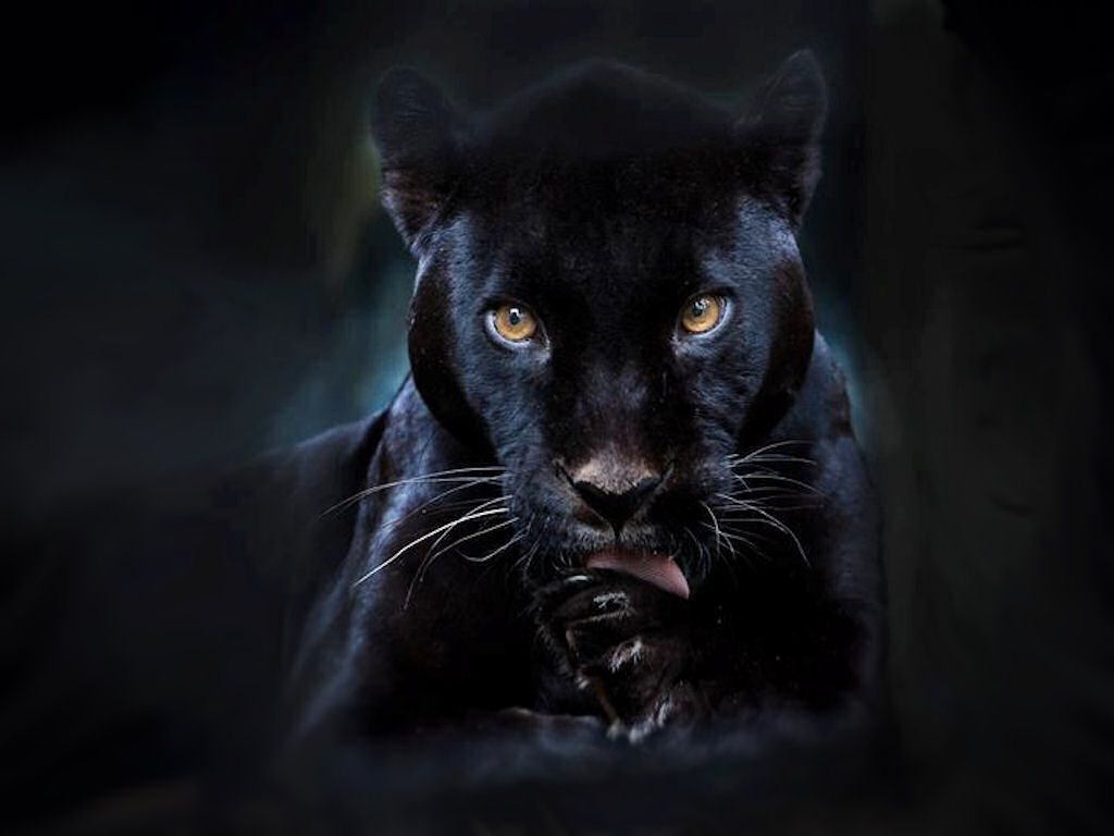 Black Panther Marvel HD Wallpapers Backgrounds Wallpaper