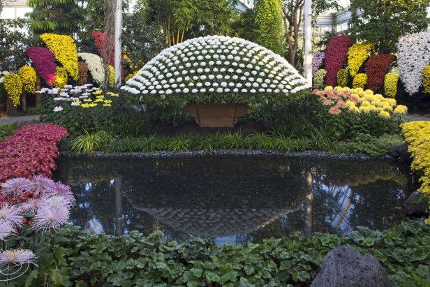 See Pictures Of Chrysanthemum Designs Japanischer Garten Botanischer Garten Japanische Chrysantheme