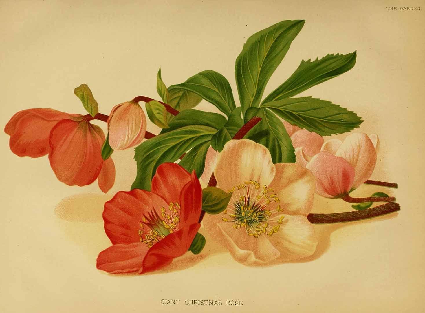 Giant Christmas Rose - Helleborus niger L. Christmas rose Seboth, J., Graf, F., Die Alpenpflanzen nach der Natur gemalt, vol. 1: t. 10 (1839)