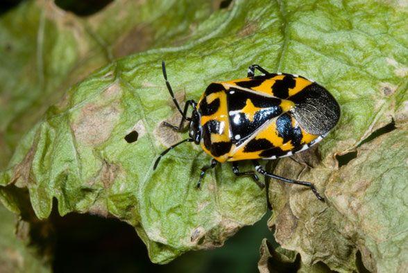 Mystery Critter Revealed: Harlequin Bug