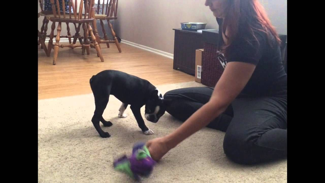 How to stop puppy growling biting part 2 stop puppy