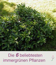6 beliebte immergr ne pflanzen f r den garten garden ideas garten garten pflanzen garten ideen. Black Bedroom Furniture Sets. Home Design Ideas