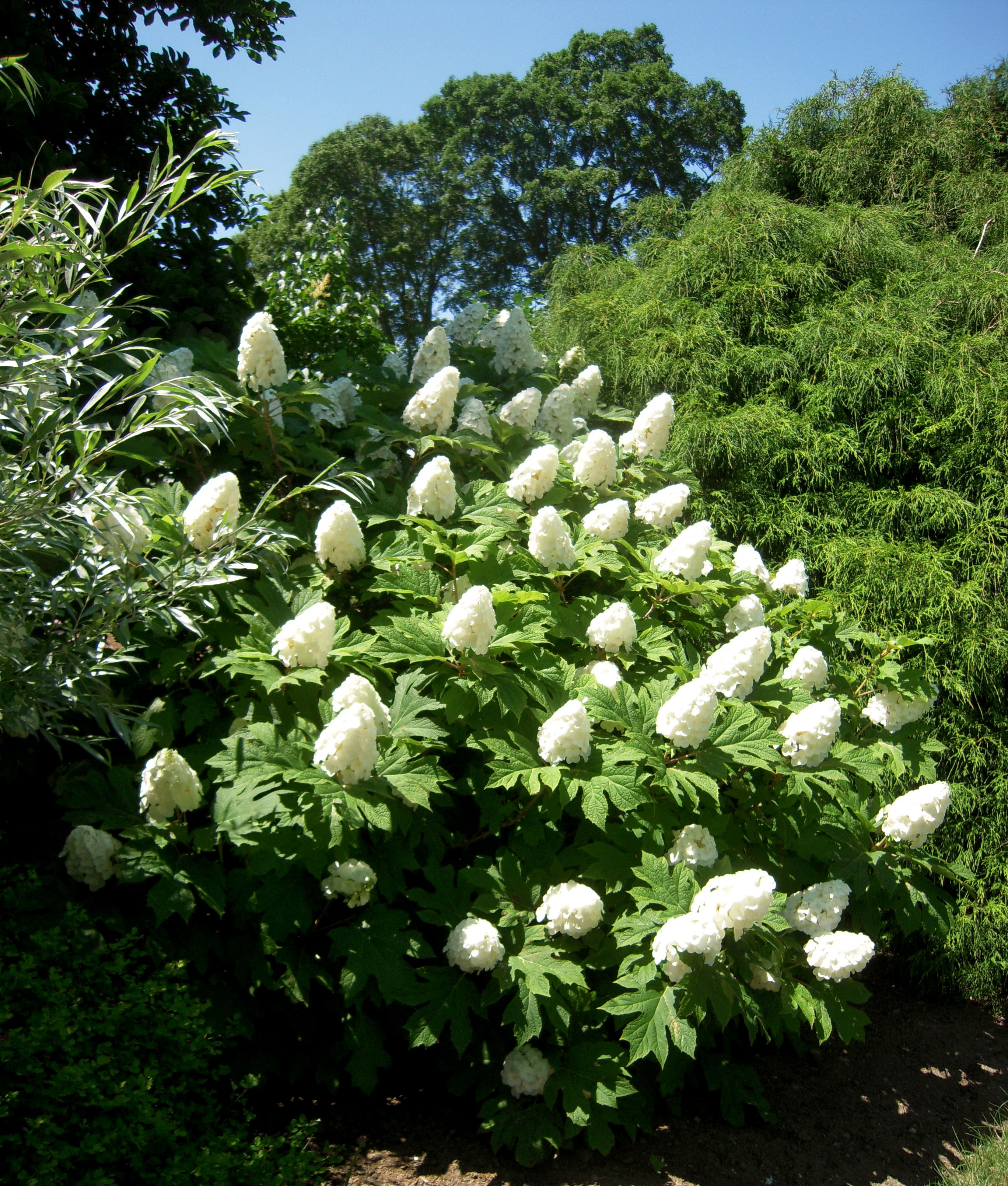 Oakleaf hydrangea envy at white flower farm in litchfield ct oakleaf hydrangea envy at white flower farm in litchfield ct mightylinksfo