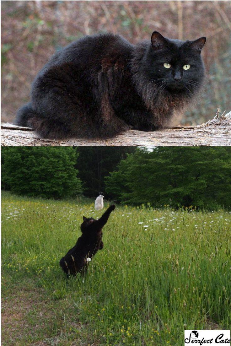 Pin on All Rumpy Cats (Manx cats)