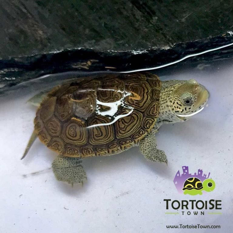 Aquatic Turtles For Sale Live Baby Turtles For Sale My Freshwater Turtle Store Turtles For Sale Aquatic Turtles Baby Turtles For Sale