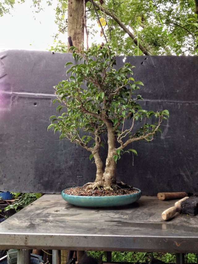 This Ficus Too Little Was Too Much I Guess Bonsai Garden Bonsai Ficus Ficus