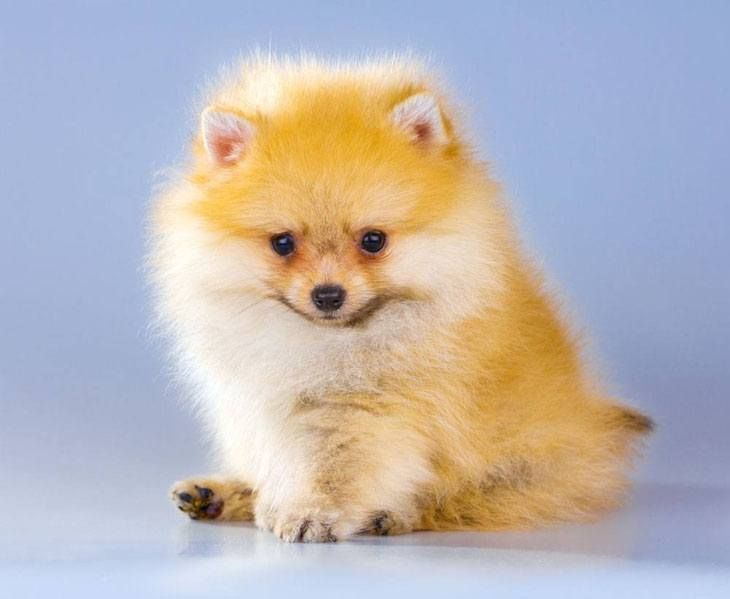 Pomeranian Names For Your Male Or Female Puppy Pomeranian Puppy Unique Dog Breeds Puppies