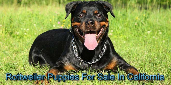 In California With Images Rottweiler Puppies For Sale
