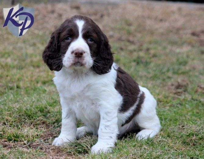 Puppy Finder Find Buy A Dog Today By Using Our Petfinder English Springer Spaniel Puppy Springer Spaniel English Springer Spaniel