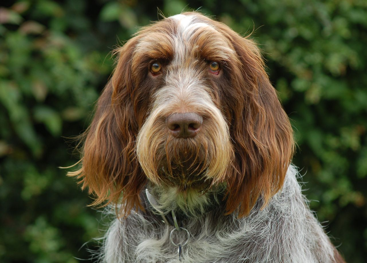 Image of italian spinone brown roan young puppy blue sitting cute - Italian Spinone