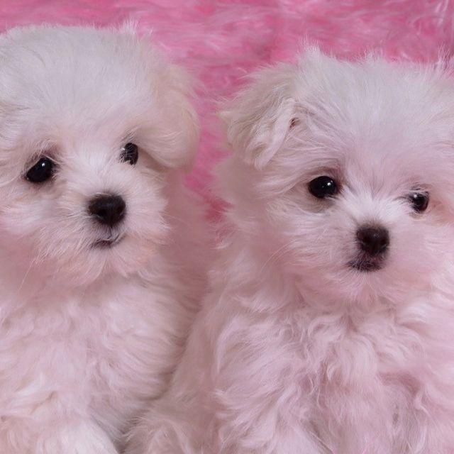 Snowballs Teacup Puppies Maltese Maltese Puppy Baby Dogs
