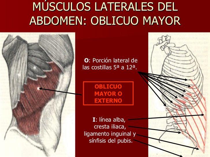 MÚSCULOS LATERALES DEL ABDOMEN: OBLICUO MAYOR OBLICUO MAYOR O ...