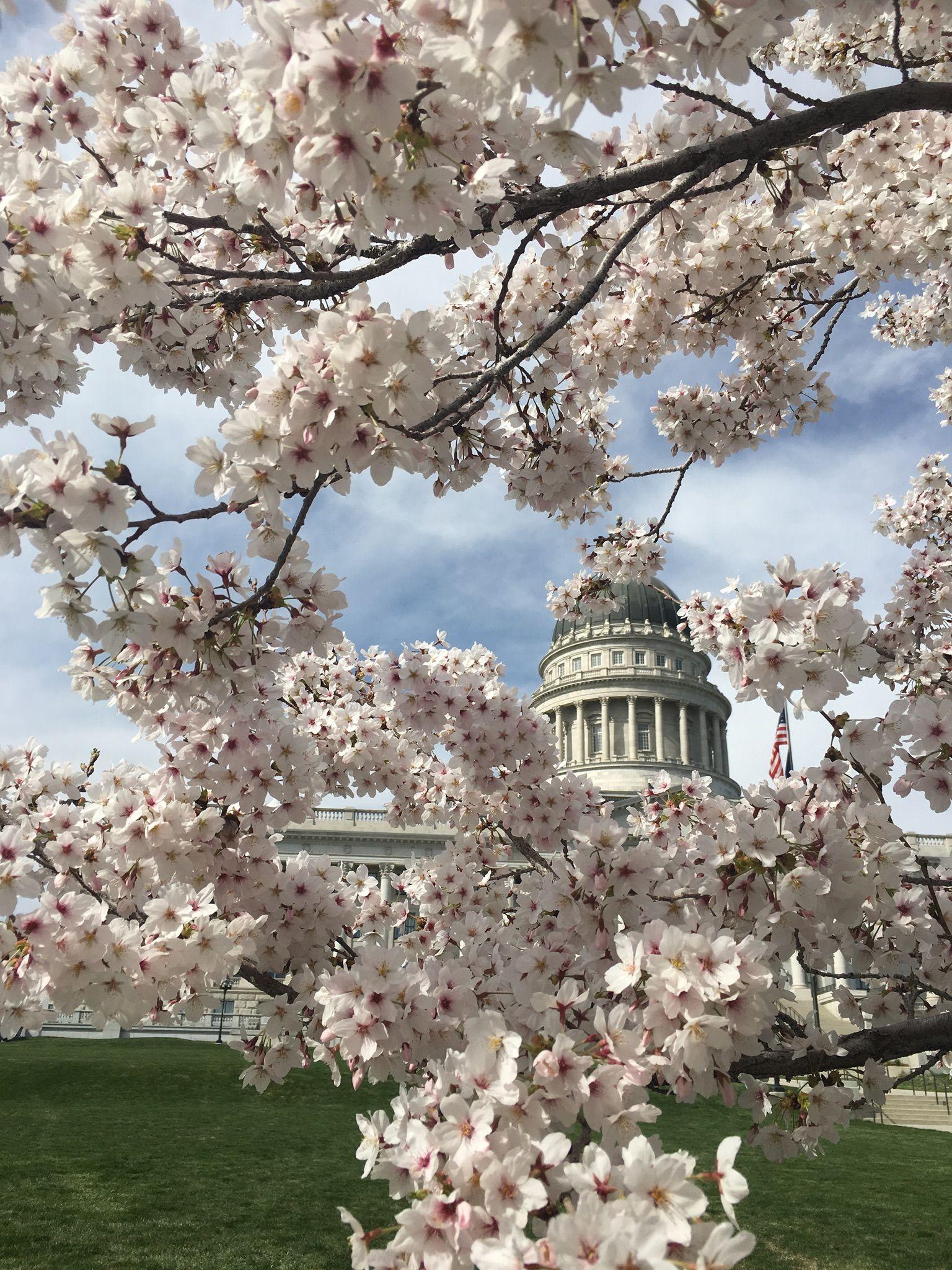 Cherry Blossoms Utah Capitol Cherry Blossom Sakura Cherry Blossom Blossom