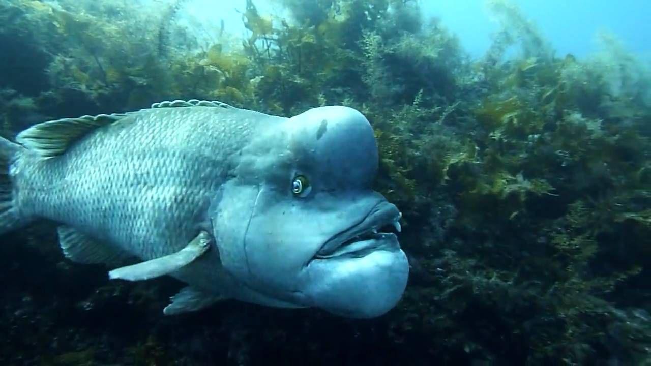 佐渡のコブダイ ゴルビー コブダイ 魚 ゴルバチョフ