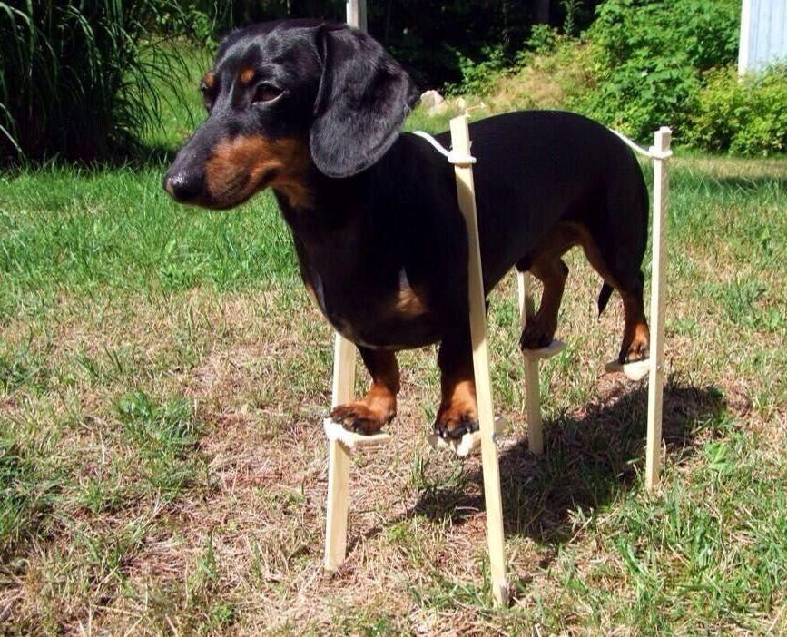 look at this cool doggo Funny dachshund, Funny dogs