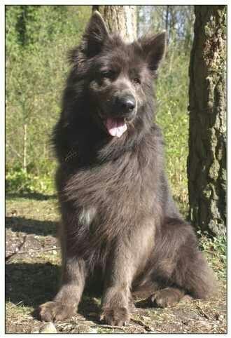 Rare Grey German Shepherd Wolf Dog German Shepherd German Shepherd Dogs