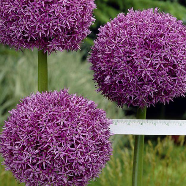 Jättilaukka lila - Allium giganteum