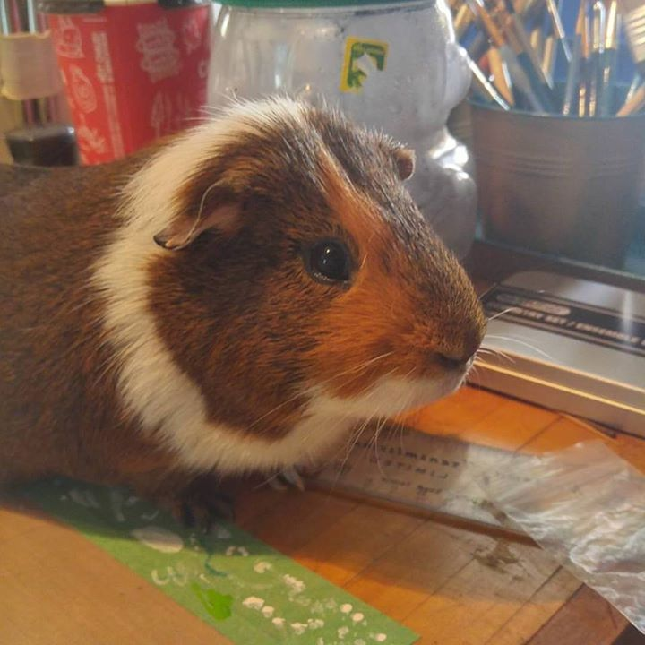 My goofy guinea pig Guinness. Looking good for a 6 year old. #ThatsMomMagick #TheArtisticPagan #guineapig #wheek