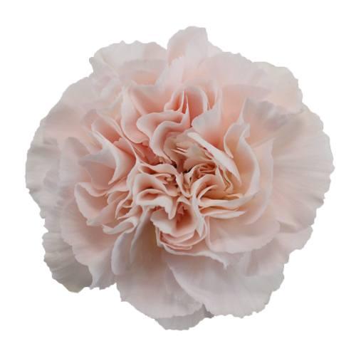 Powder Pink Carnation Flowers Fiftyflowers Com Carnation Flower Pink Wedding Flowers Pink Carnations