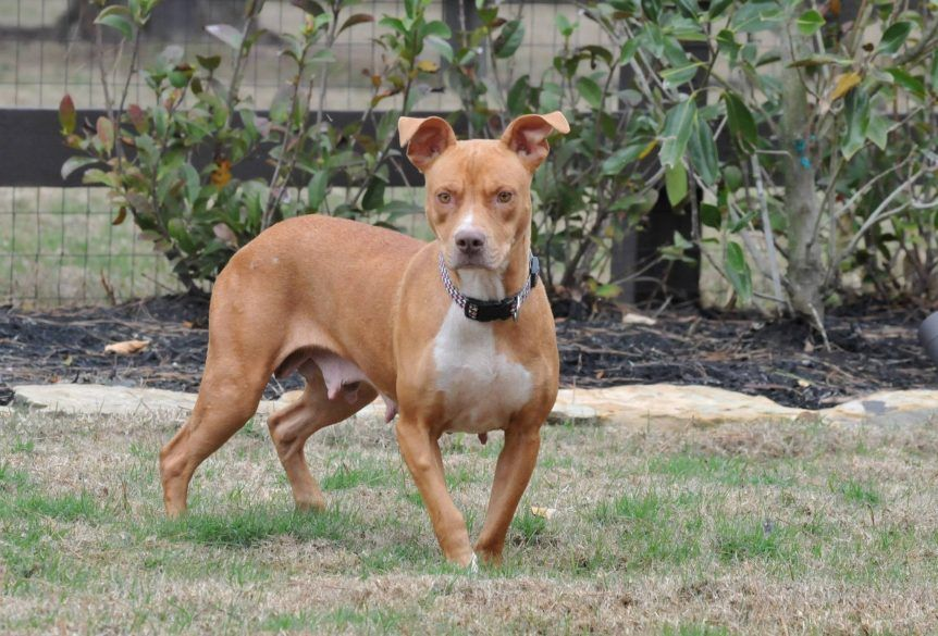 05 20 17 Conroe Tx Dixie Reggies Friends Pet Rescue Dixie Is An Active Amstaff Looking For A Loving Famil Dogs Pets Cute Dogs