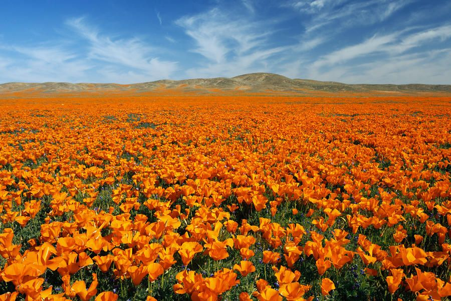 Poppy Fields in Lancaster, CA | Antelope valley poppy reserve, Poppies,  Beautiful places
