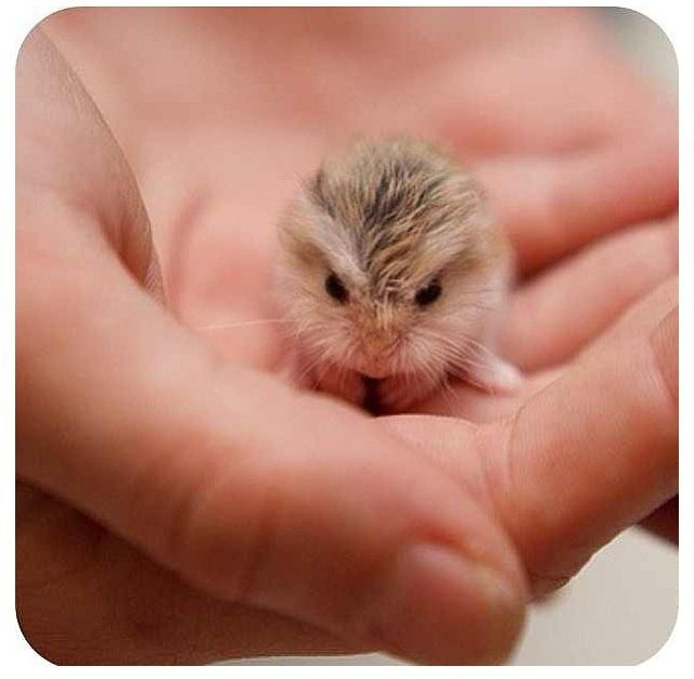 Little Baby Hamster With Images Cute Animals