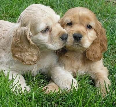 I Really Want To Get One Of These For Taylor For Her Birthday Cocker Spaniel Puppies Spaniel Puppies English Cocker Spaniel Puppies