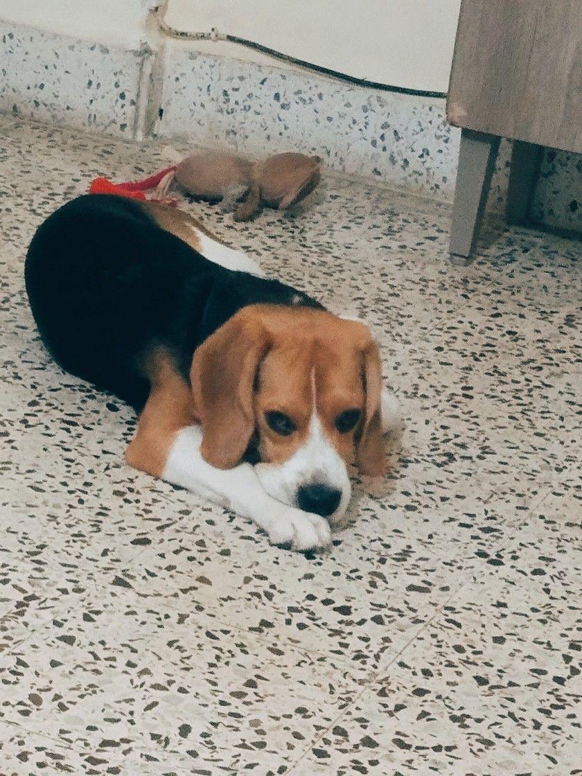 Hank Patiently Waiting For Food Beaglelove Hank Beaglepuppy