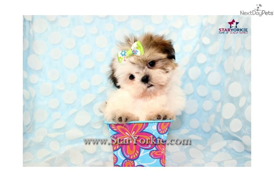 Teacup Shih Tzu For Free Cute Shih Tzu Puppy For Sale For