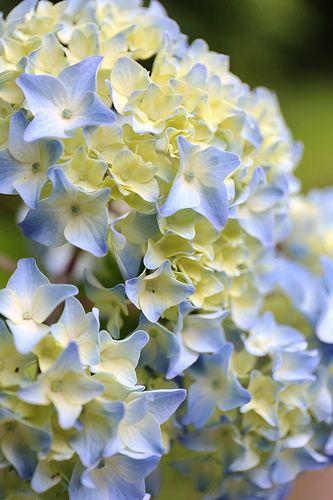 Hydrangea   beautiful  color   j aime ,,,,,**+