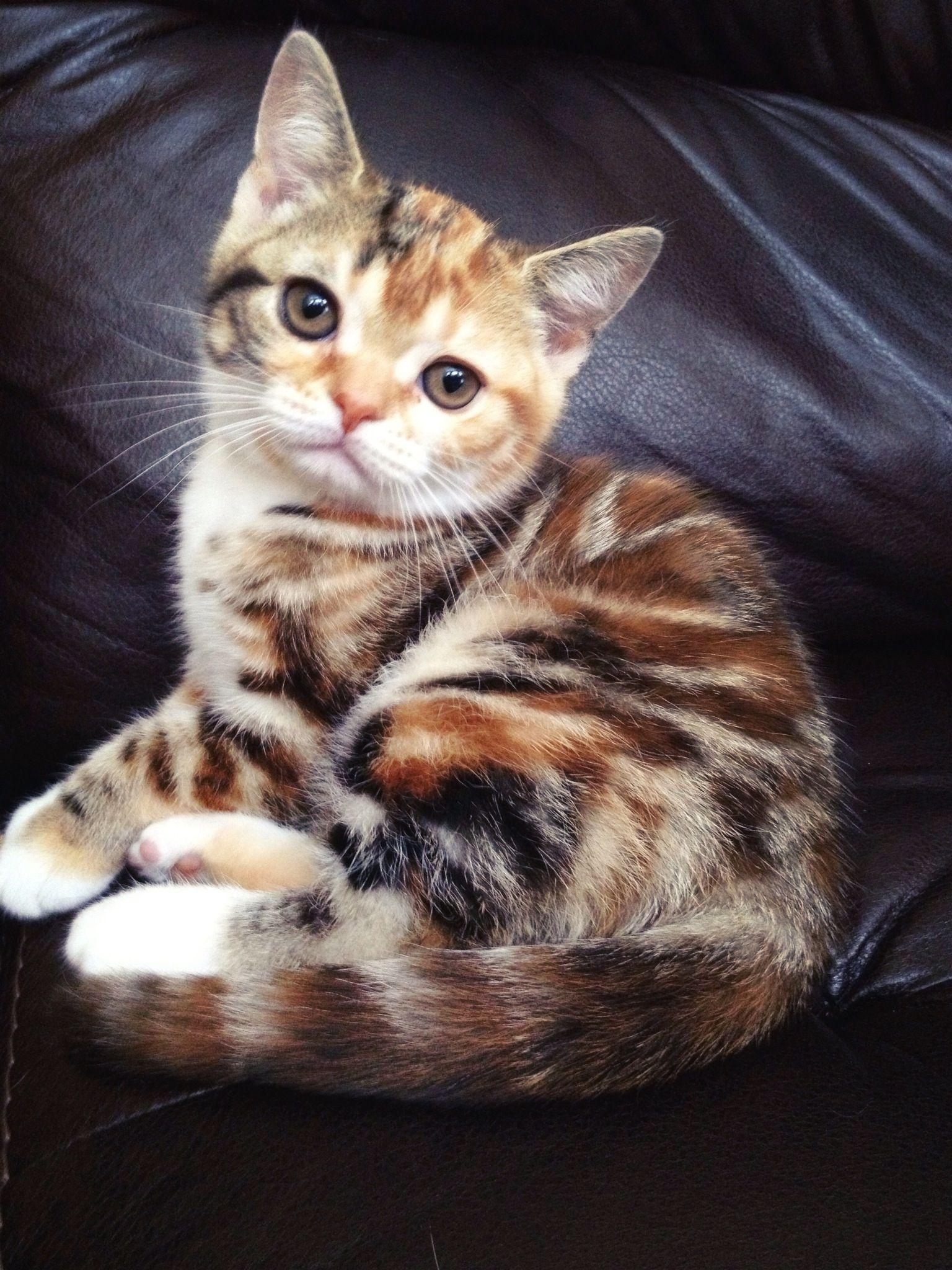 My Skittles So Beautiful American Shorthair Cat Orange Cats