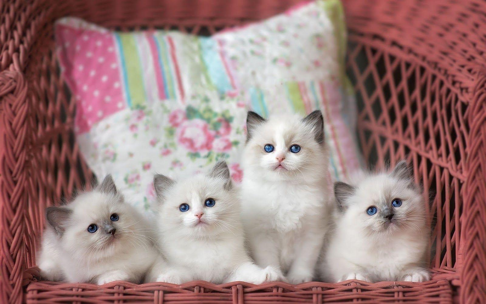 Magnifique Fonds D Ecran De Chat Pour Decorer Votre Ordinateur Cute Kittens Chats Et Chatons Chats Adorables