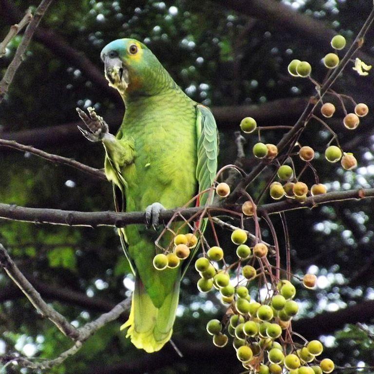 Muito bom ver em plena São Paulo  papagaios livres. Na foto apenas um mas na árvore era um grupo de pelo menos cinco. Plante árvores que eles vem. #papagaio #parrot #saopaulo #sampa #aves #avesdesaopaulo #birds #birdsofinstagram #birdsofsaopaulo #nature  #city by rodrigo_rgl http://www.australiaunwrapped.com/
