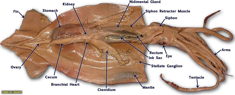 Squid Diagram Rectum Product Wiring Diagrams
