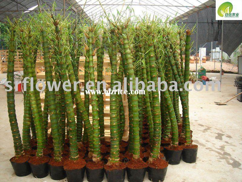 Bambusa tuldoides 'Ventricosa' | Bamboo | Pinterest ...