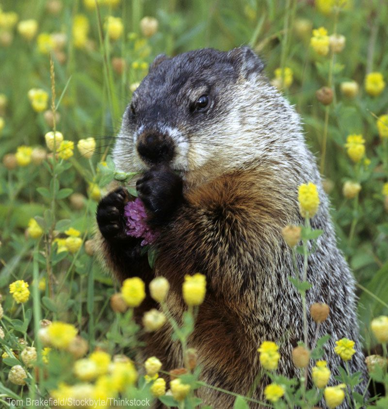 how to keep groundhogs out of my garden. Use These Tips To Keep Groundhogs Out Of Your Garden. Photo Courtesy Tom Brakefield/ How My Garden A
