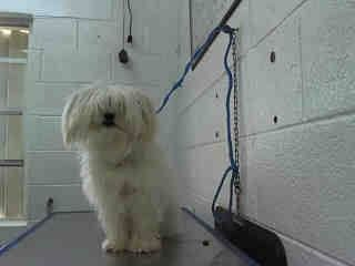 Kandy A1402694 I Am A Female White Maltese The Shelter Staff