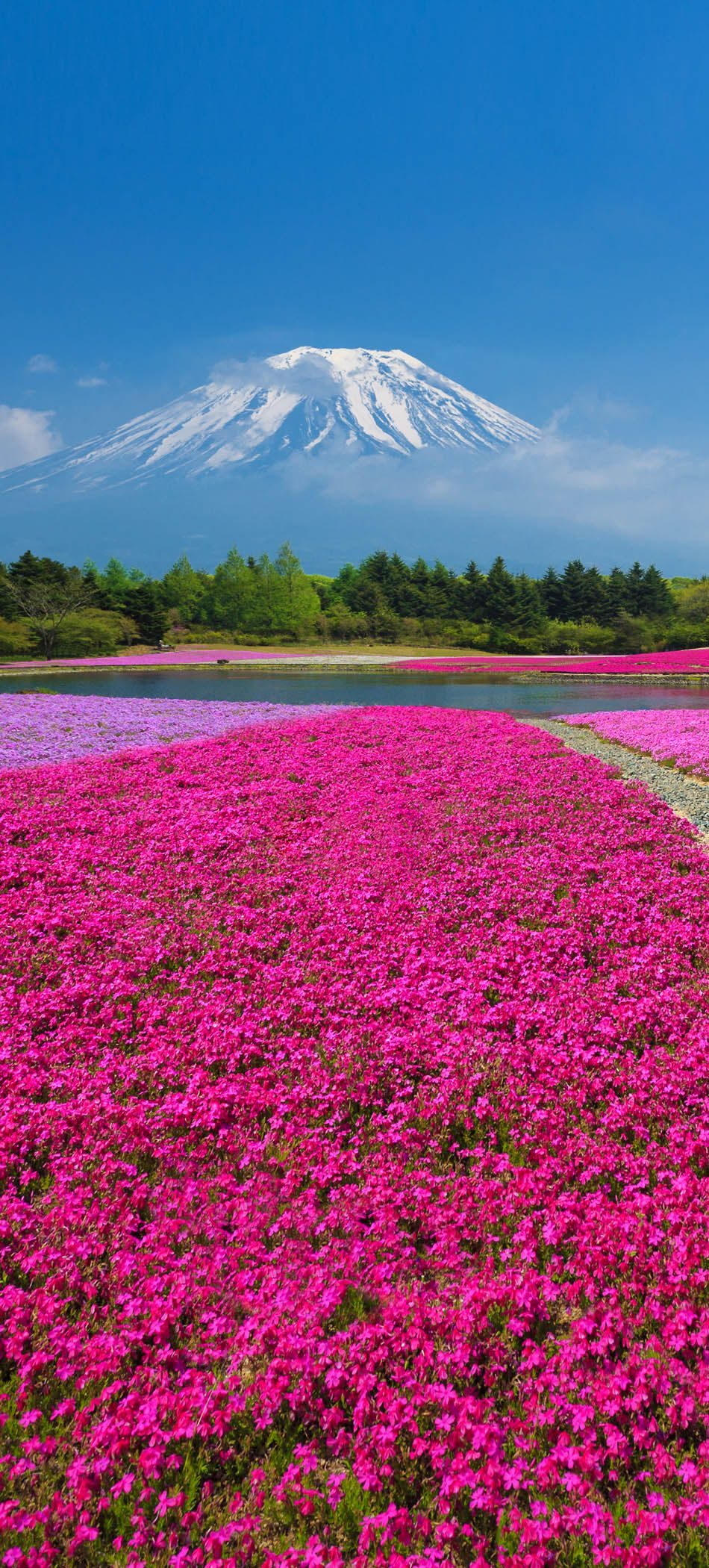 Mount Fuji With The Field Of Pink Moss At Shibazakura Festival