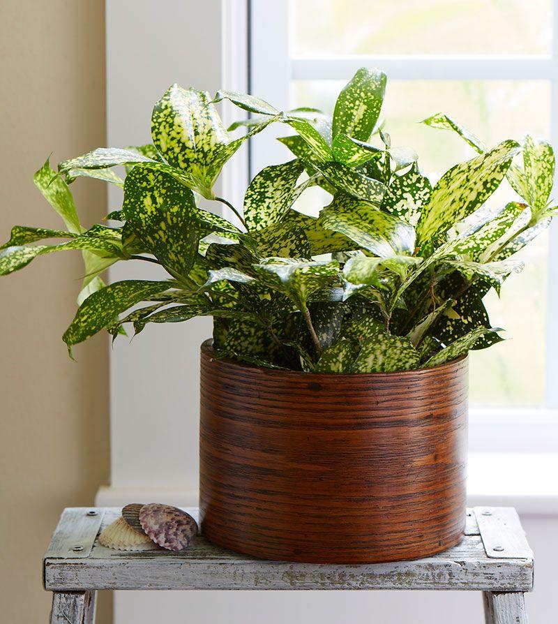 Indoor Houseplants: Dracaena Florida Beauty Has Wonderfully Speckled Foliage