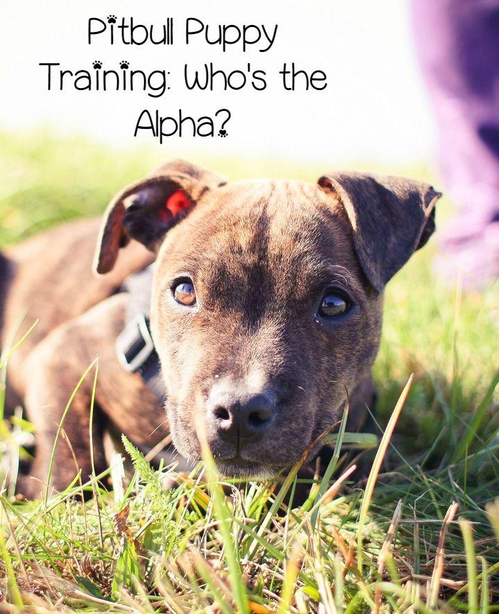 Pitbull Puppy Training Tips Who S The Alpha Dog Training Tips